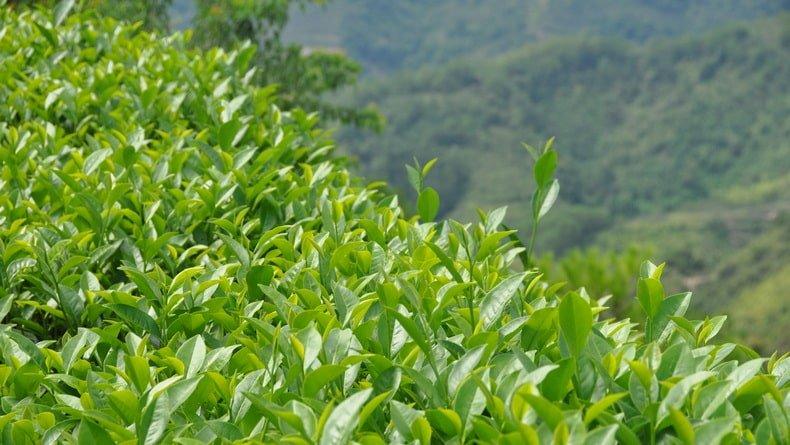 Как производят зеленый чай матча